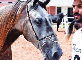 Meeting national du cheval barbe et arabe-barbe: la race barbe grain de beauté de la filière équine